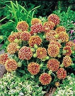 Gaillardia Sundance Bicolor Annual Seeds