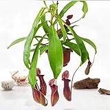 Nimoa Gartensamen, Seltene Samen Kannenpflanze Purpurea Laub Fleischfressende Schatten Blumengarten, 20St