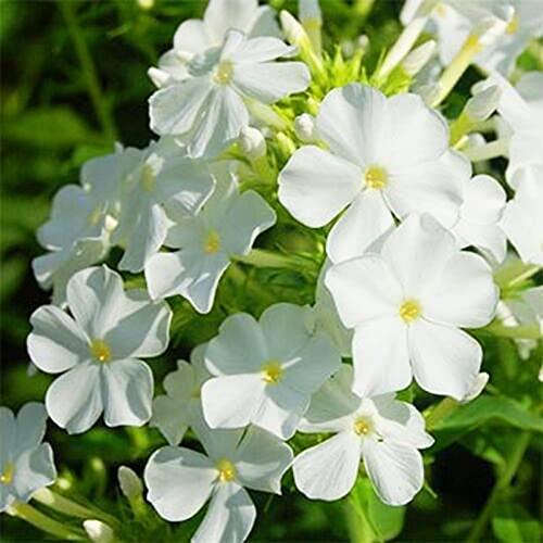 50 Stück Phlox-Samen Schnelles Wachstum Blühender Sonnenschein mit weißer Blüte Bevorzugen Sie Phlox-Sämlinge für den Balkon
