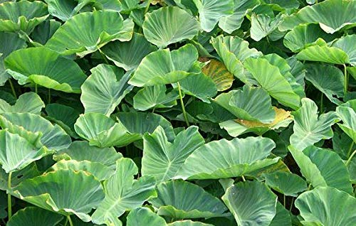 15 GREEN TARO ELEPHANT EAR WATER LILY BULBS ROOTS POND PLANT EDIBLE POI