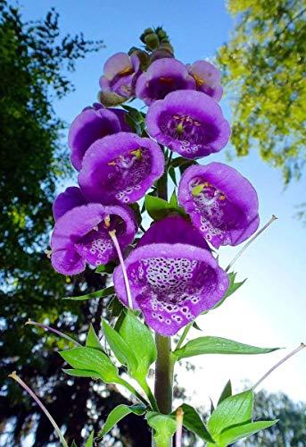 100+ Samen Rote Fingerhut,Digitalis purpurea' -Tolle Pflanze für den Garten-