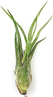 NW Wholesaler - Tillandsia Caput-Medusae Air Plants - 3-4