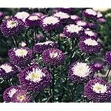 アスター種子ポンポン青い花の種 - 100個の種子