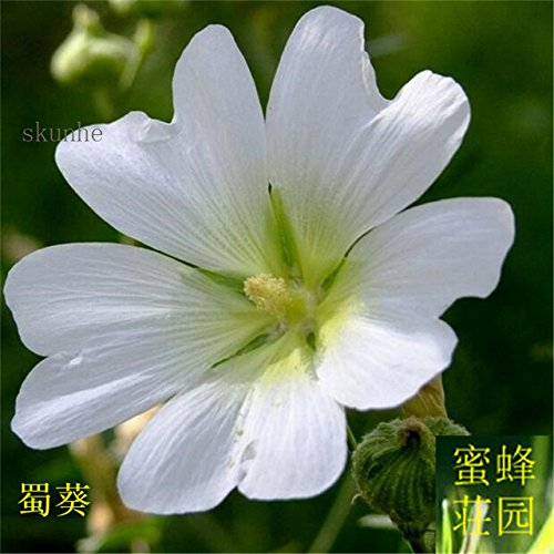Sophora Japonica Bonsai zehn Fuß rot Bonsais gekocht Saison Blume Bonsais Rong Kwai Zaun Blume über 100pcs (SHU kui): 3