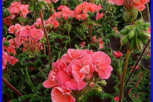 JKCTOPHOME Giardino di casa piantare Fiori,Semi di Geranio da Giardino di casa-Rosa_1000 Capsule,Bulbi da Fiore