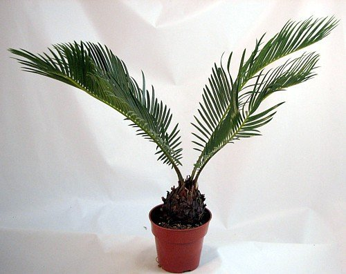 Japanese Sago Palm - GREAT GIFT EASY TO GROW - 4' pot unique from Jmbamboo