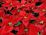 pianta stella di nataleeuphorbia pulcherrima in vaso ø12 cm vive tutto l'anno