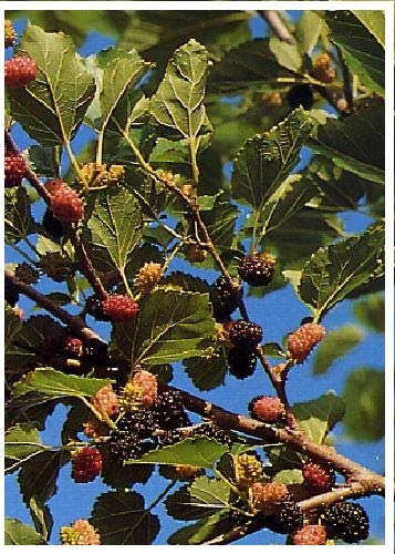 TROPICA - Mûrier noir (Morus nigra) - 200 graines- Plante utile