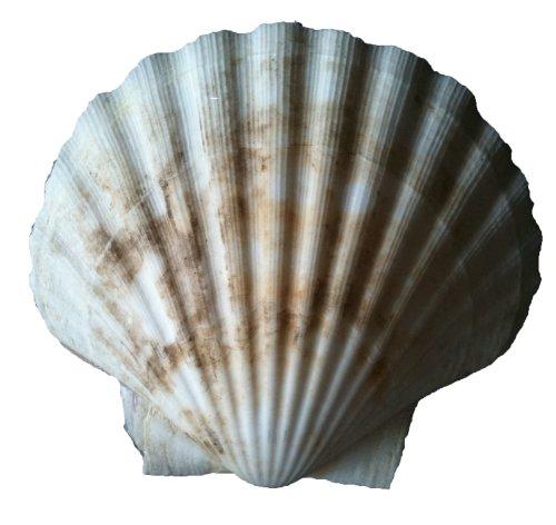 Shell Muschel - Jakobsmuschel Ragoutschale Deep Scallop