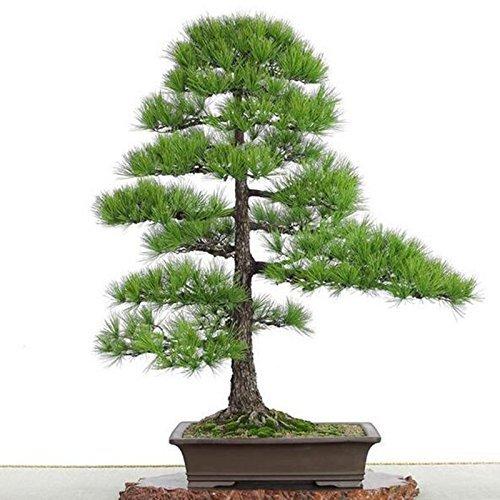 Noir Pine Tree bonsaï graines des plantes en pot Balcon Graines coin japonais Pine Tree 20 graines / paquet