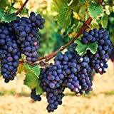 Pixies Gardens Concord Grape Vine Shrub Live Fruit Plant for Planting - Varies in Color from Deep Blue to Purple Or Almost Black Excellent Variety for Jams and Juices (1 Gallon - Set of 2 Potted)