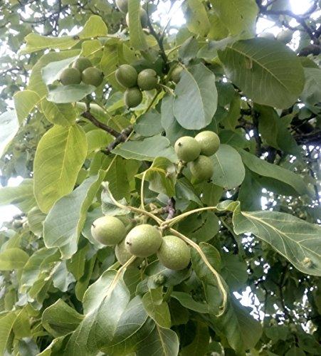Mayette Walnuss, Walnussbaum Buschbaum, Juglans regia, Obstbaum winterhart, Walnuss braun, im Container, 80 - 100 cm