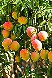 1PCS enanos semillas de mango dulce árbol Bonsai planta rara