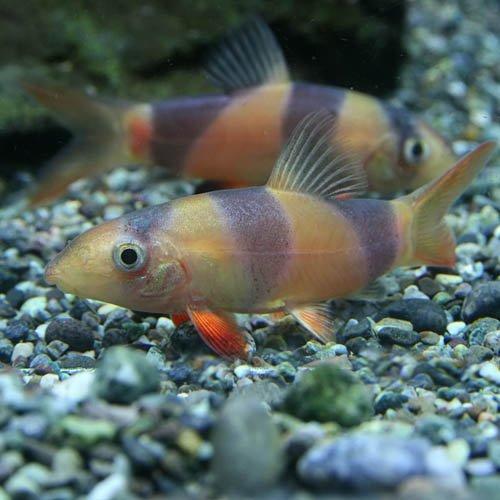 (熱帯魚)クラウンローチ(約3-4cm)(3匹)[生体]