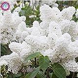 VISTARIC 4: Promoción !! 5 PC/bolsa Magnolia Flores hermosas de semillas semillas de árboles bonsai fácil crecer para jardín DIY colorido Planta Ornamental 4