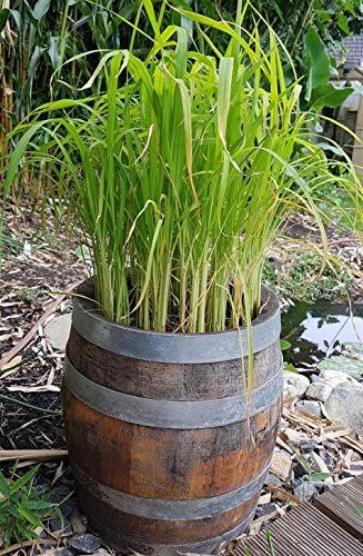 100 Samen echter Reis, Oryza sativa ssp. japonica Ernte nach 4-5 Mon. möglich