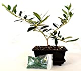 9GreenBox - Olive Tree Bonsai with Water Tray and Fertilizer
