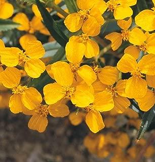 David's Garden Seeds Herb Mint Mexican Marigold Gold SL2273 (Gold) 200 Non-GMO, Heirloom Seeds