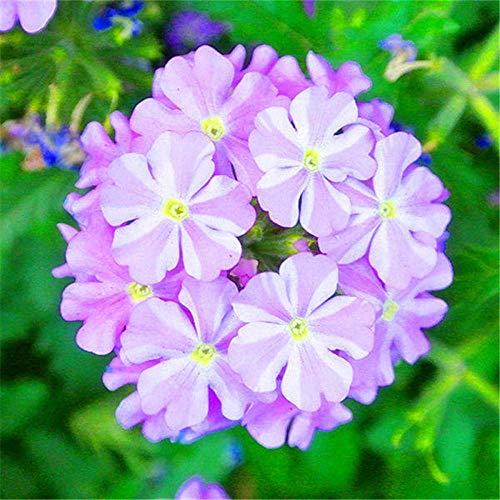Fnho Blüten Saatgut...