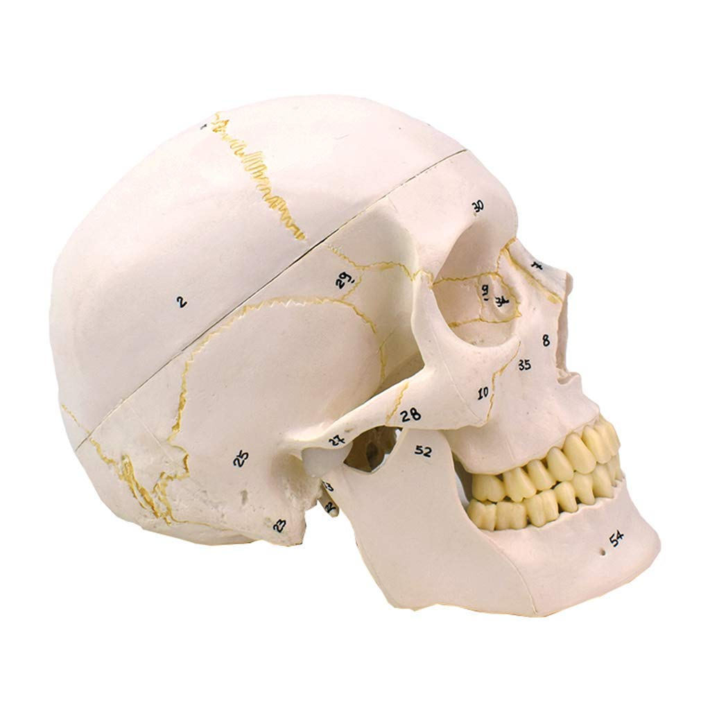 Ranking TOP8 ZLF Human Adult Skull Anatomical Model Size Life Challenge the lowest price Removable 1:1