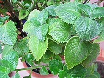 Cuban Oregano  2 Live Plant  Indian Borage Mexican Mint Spanish Thyme