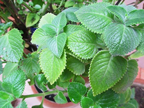 Cuban Oregano, (2 Live Plant) Indian Borage, Mexican Mint, Spanish Thyme