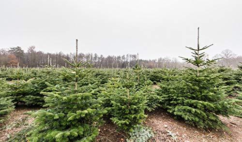 25st. Nordmanntannen 25-40cm 5j. Nordmanntanne Weihnachtsbaum Abies nordmanniana Wurzelware (25)