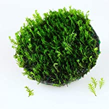 Live Aquarium Plants Very Rare Island Fissidens Fontanus Stone Pad - for Freshwater Fish Tank Decorations. Provide Natural Resting and Hiding Places for Your Smaller Fish and Shrimps