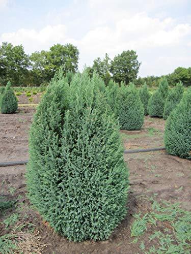 Chamaecyparis lawsoniana 'Ellwoodii' - Kegelzypresse 'Ellwoodii' 40-60