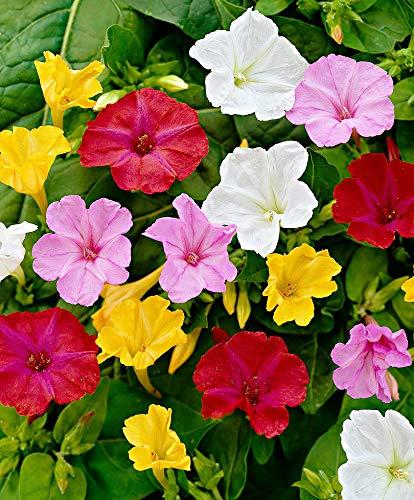 AIMADO Samen-50 Pcs Wunderblumen-Mischung Blumensamen Wundervolle farbenprächtige Blumen Duftet, mehrjährig winterhart Samen für garten Balkon
