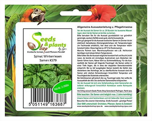 Stk - 2000x Spinat Winterriesen - Spinat Samen Gemüse Pflanze Garten KS97 - Seeds Plants Shop Samenbank Pfullingen Patrik Ipsa