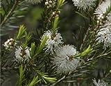 Seedeo Australischer Teebaum (Melaleuca alternifolia)...