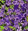 Bellflower serbo, semi blu cascata - Campanula poscharskyana #1