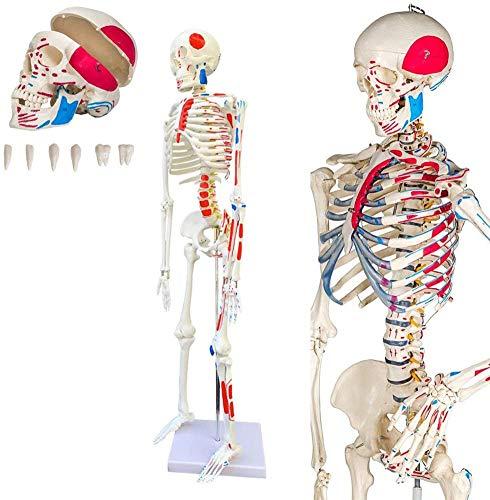 NoNo Anatomie Modell Menschliches Skelett mit Muskelbemalung,mittel,ca. 85 cm,geeignet als Lernmodell oder Lehrmittel zur Untersuchung von Funktion,BAU und Bewegung des Körpers
