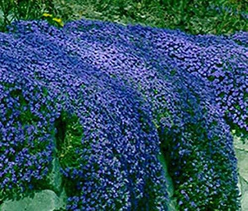 Portal Cool Aubretia Blue Shades Seeds Staude Strauch Frost Hardy niedrig wachsende Bodendecker