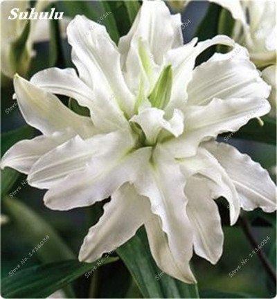 50 Pcs parfum Lily Graines, Graines de plantes d'intérieur, Germination Fleur 99% Creepers Bonsai Bricolage Fournitures Jardin Pots Planters