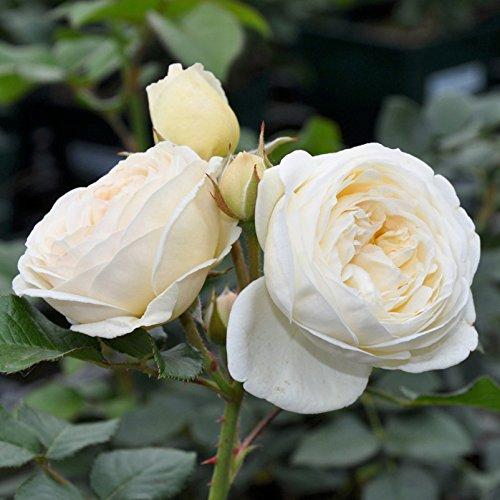 """Strauchrose """"Artemis (Premium) - cremeweiß blühende Topfrose im 6 L Topf - frisch aus der Gärtnerei - Pflanzen-Kölle Gartenrose"""