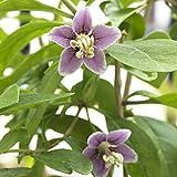 Goji, semillas de baya de Goji - Lycium barbarum - 110 semillas