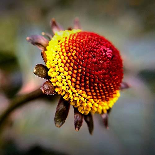 Semillas de flores Hierba tropical Dolor de muelas Planta Flores de color amarillo brillante, de rápido crecimiento Ornamental anual Flores de botón amarillo 500 PCS