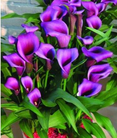 100pcs / lot calla graines de lys graines rares de fleurs pour la plantation de jardin à la maison (pas Calla bulbes de lis), plante en pot bonsaï vivaces 8