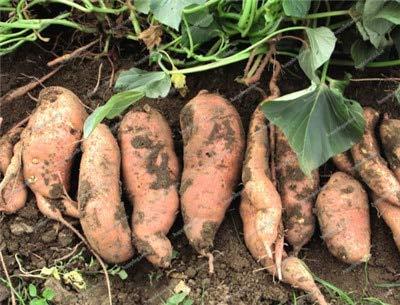 Sumpf frisch 100 Stück Süßkartoffel Gemüse SAMEN zum Pflanzen Braun 1