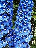 Alick 100pcs BLUE SPIRE LARKSPUR Delphinium Consolida Ambigua Semillas de flores