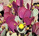 GEOPONICS V anta Rita Comestible Violet CACTU, 10 semences