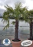 winterharte Chinesische Hanfpalme (Trachycarpus fortunei) (30-40cm hoch) - 3