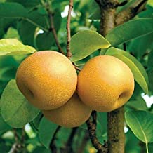 HOSUI Giant Asian PEAR TREE2-3 FT Flowering Fruit Trees Sale Today