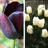 2 x Collection de Tulipes Noires et Blanches - ( 2 x 20 Bulbes Vivaces)