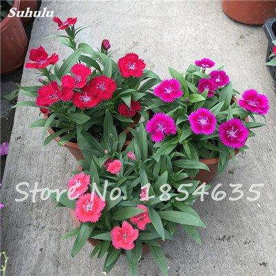 Inde importation Œillets Seed Dianthus caryophyllus Embellir et de purification d'air bricolage jardin Plantation maman cadeau 120 Pcs 4