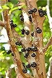 観賞用植物プリニアCauliflora盆栽100個ファミリーフトモモ科ジャボチカバ果樹工場ブラジルのブドウの木:3