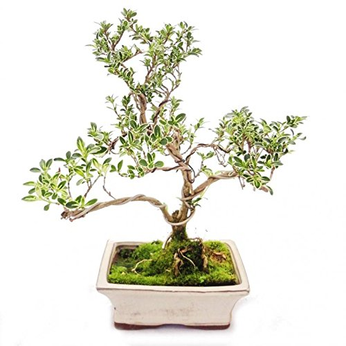 Exotenherz - Outdoor Bonsai - Serissa foetida variegata - Junischnee - Baum der 1000 Sterne 15cm