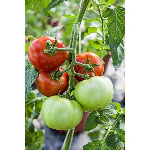 Riesen Fleischtomate Supersteak Solanum